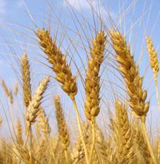 Wheat (photo courtesy of www.brewersassociation.org)