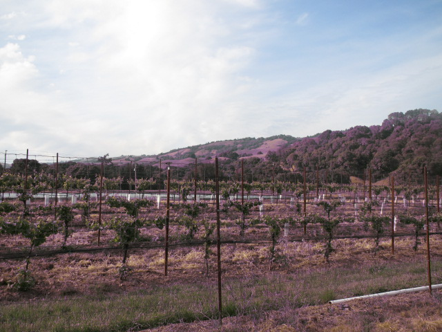 grapes growing in Boonville by AVBC