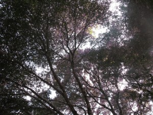 Oak tree canopy at Anderson Valley Brewery