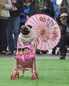 Pug Crawl (photo by OregonLive)