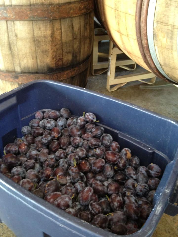 Fresh Italian plums have been added to a golden farmhouse ale with Brettanomyces.