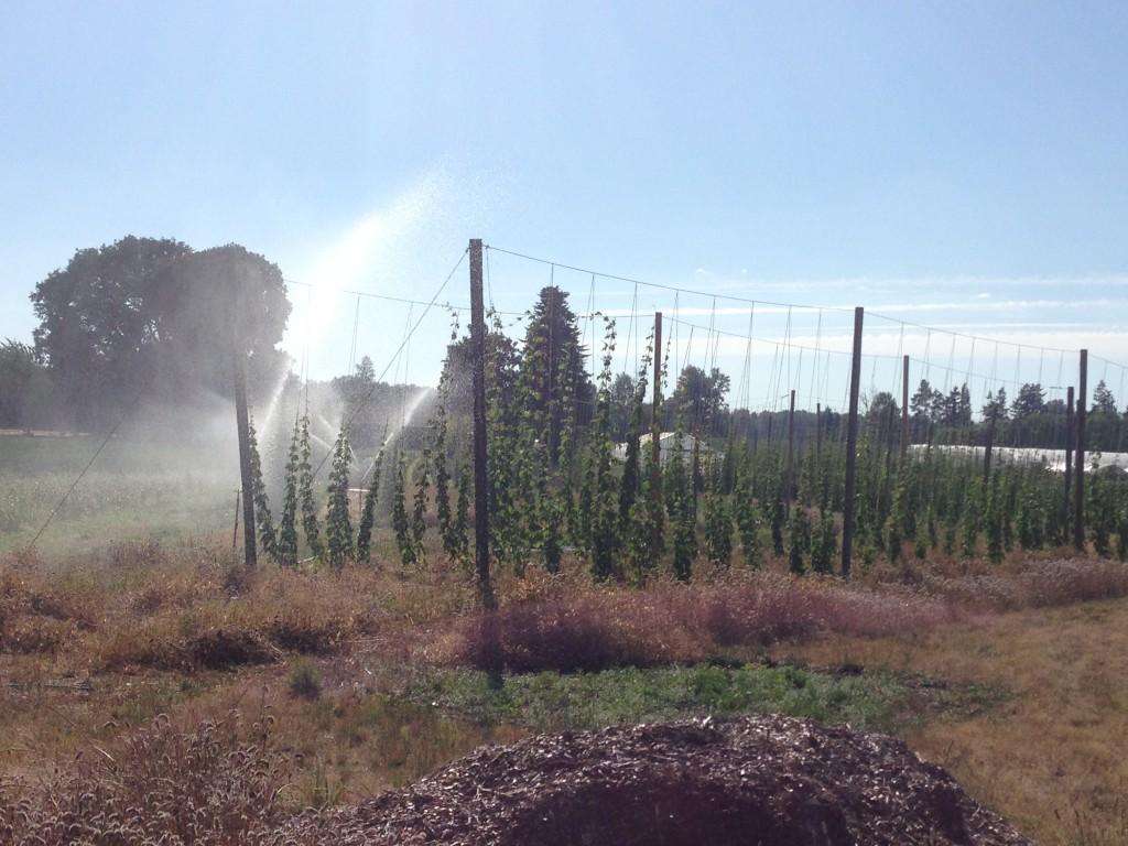 Farm grown hops at Agrarian Ales