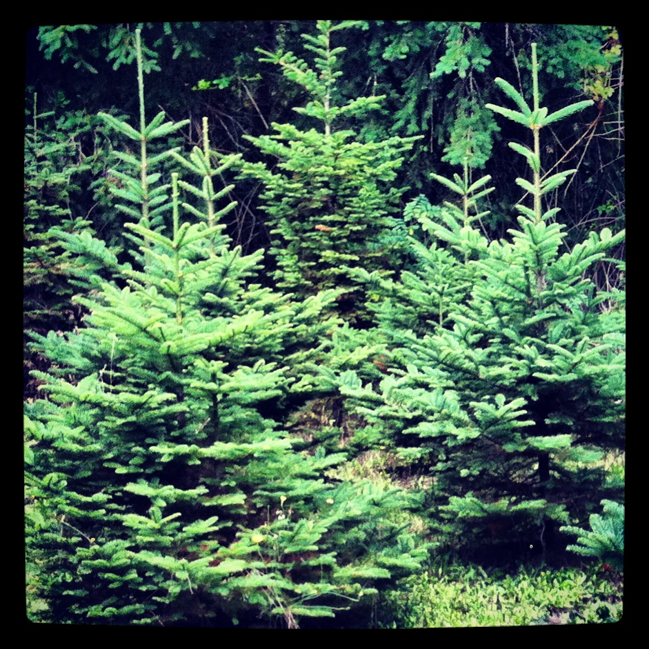 Christmas Trees at Earth Sky Farm