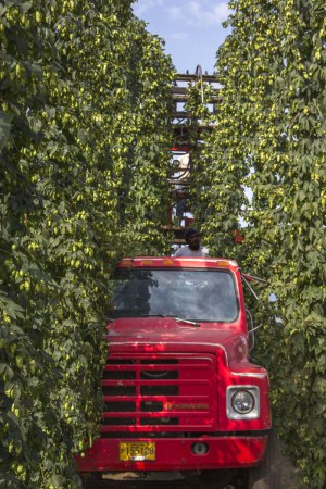 Rogue Freedom Hop Harvest (photo courtesy of Rogue)