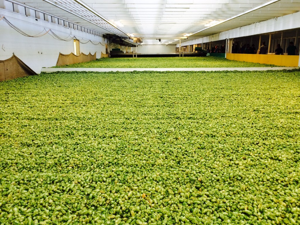 Drying of freshly picked hops