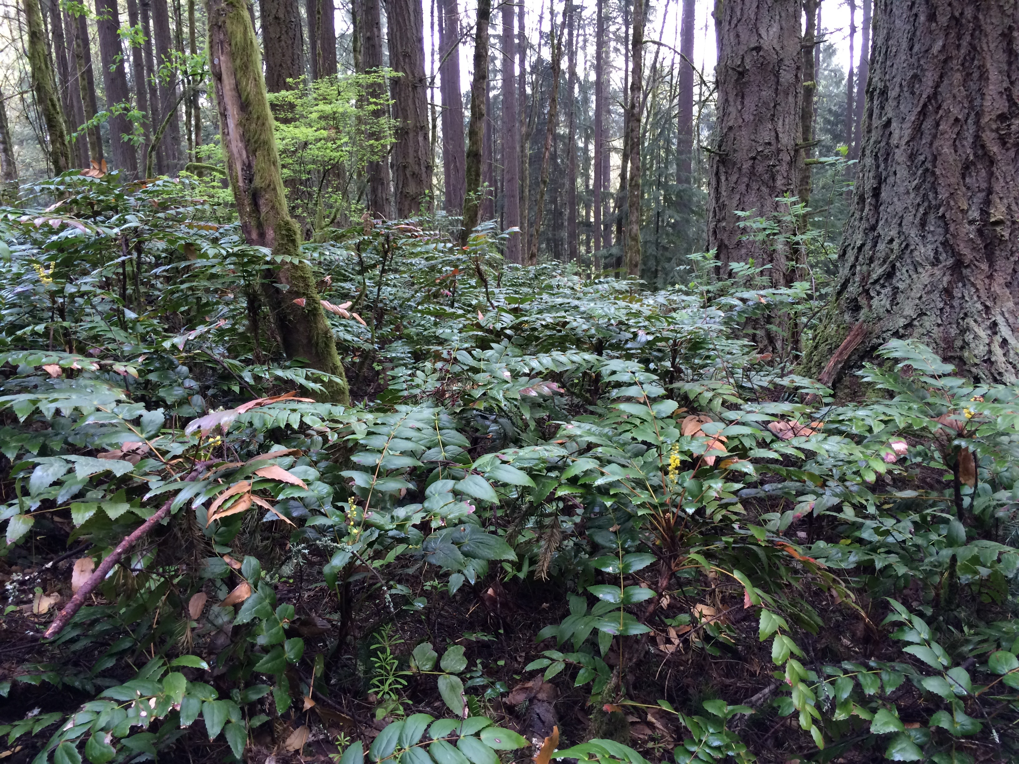 Oregon Grape in Forest Park during BMBW