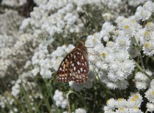 Silverspot Butterflies in the Pacific Northwest