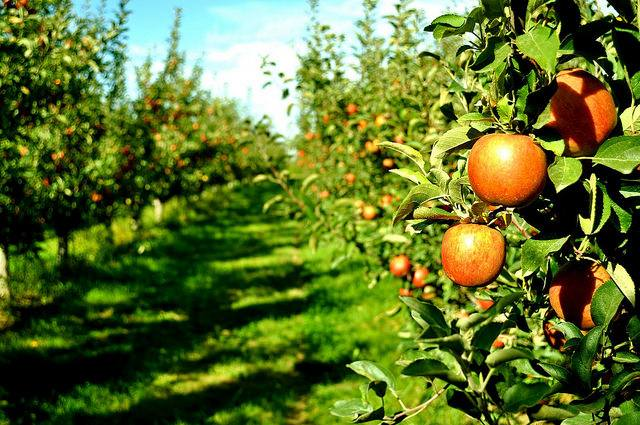Saraveza How About Them Apples?