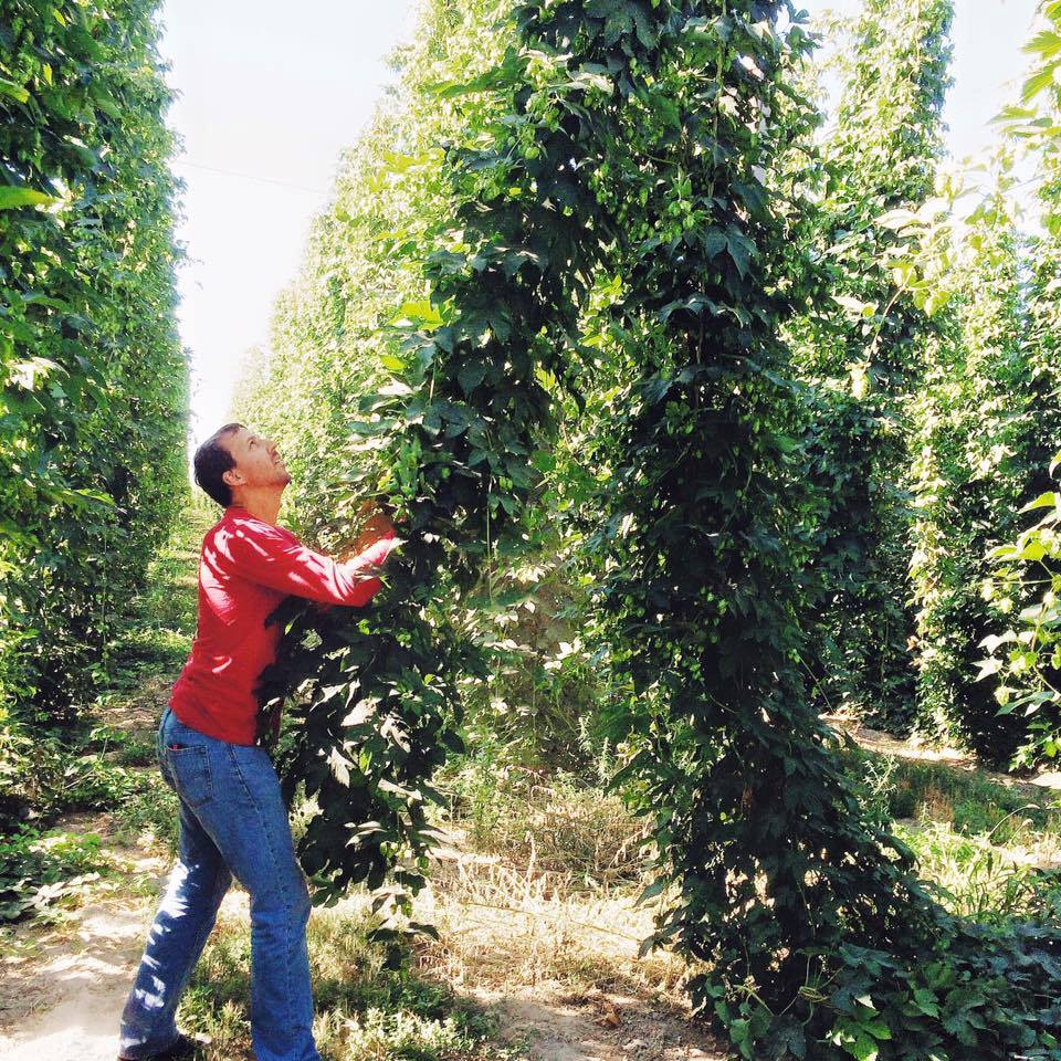 Joel from Two Beers Brewing picking hops. (image courtesy of Two Beers Brewing Co.)