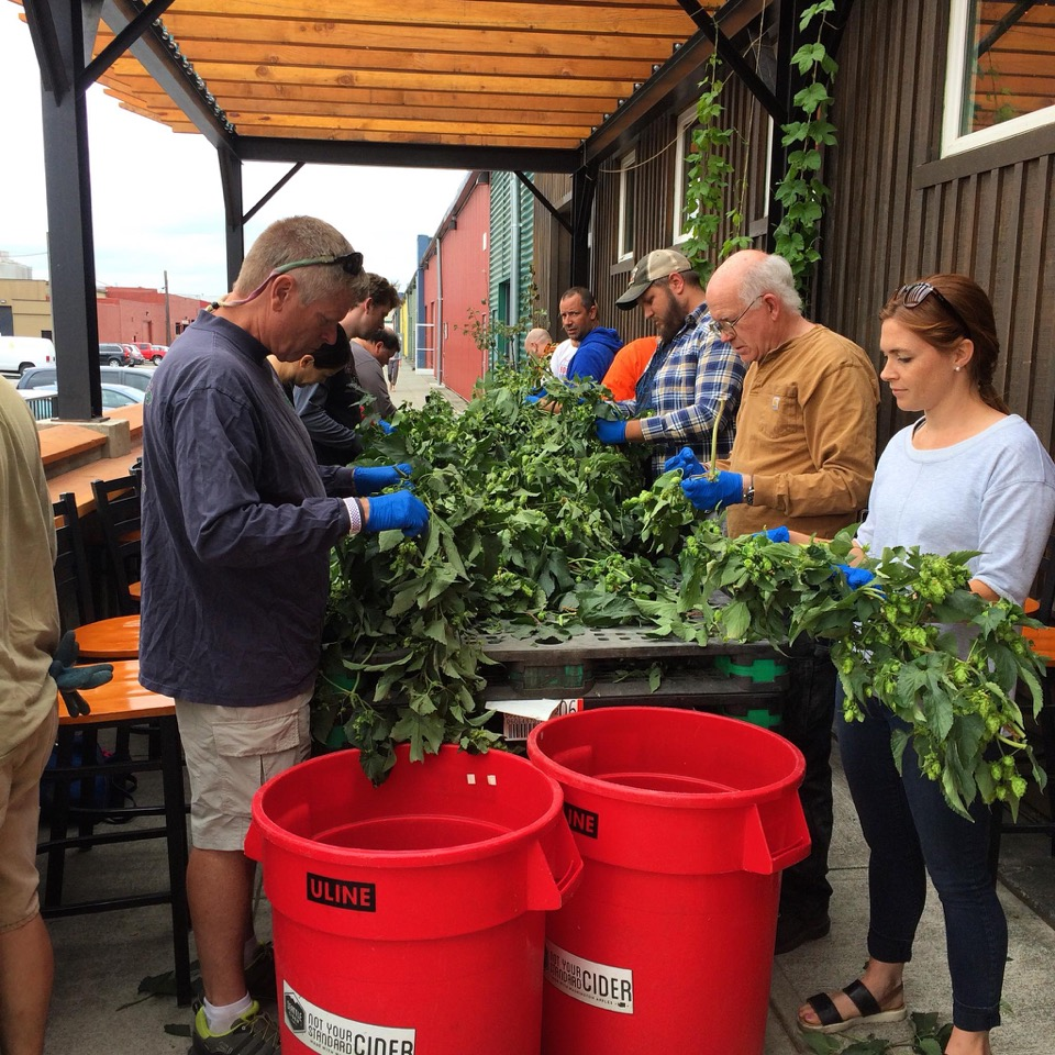 Picking hops by the Two Beers crew. (image courtesy of Two Beers Brewing Co.)