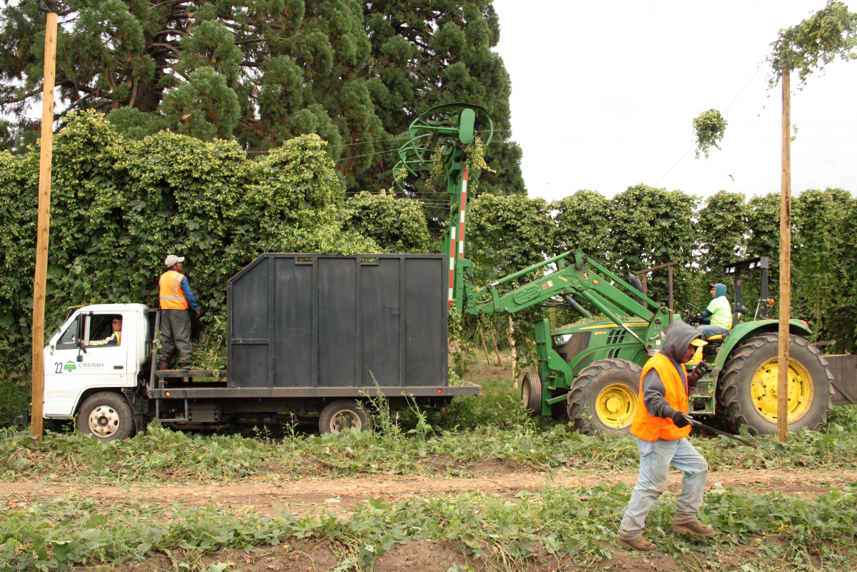 Crosby Hop Farm picking Amarillo Hops during the 2016 harvest. (photo by Ryan Spencer)
