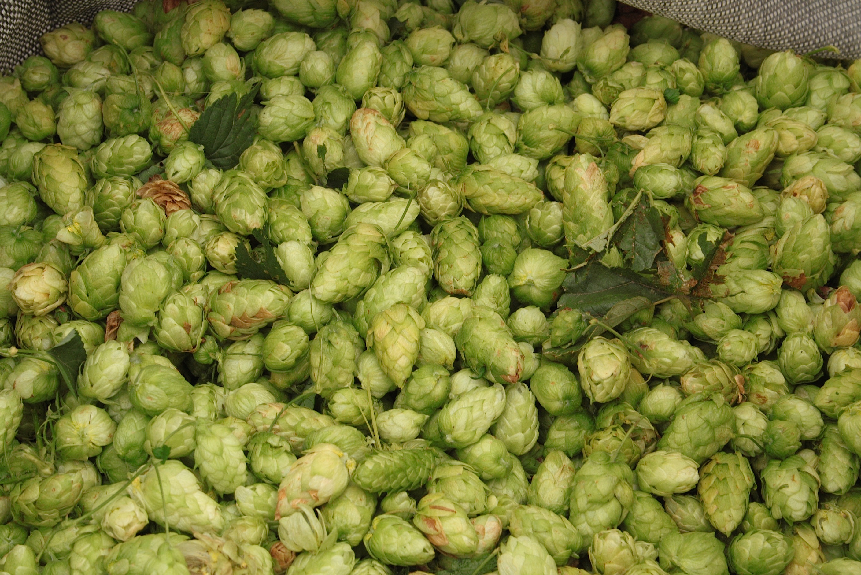 Freshly picked Amarillo Hops during the 2016 harvest at Crosby Hop Farm. (photo by Ryan Spencer)