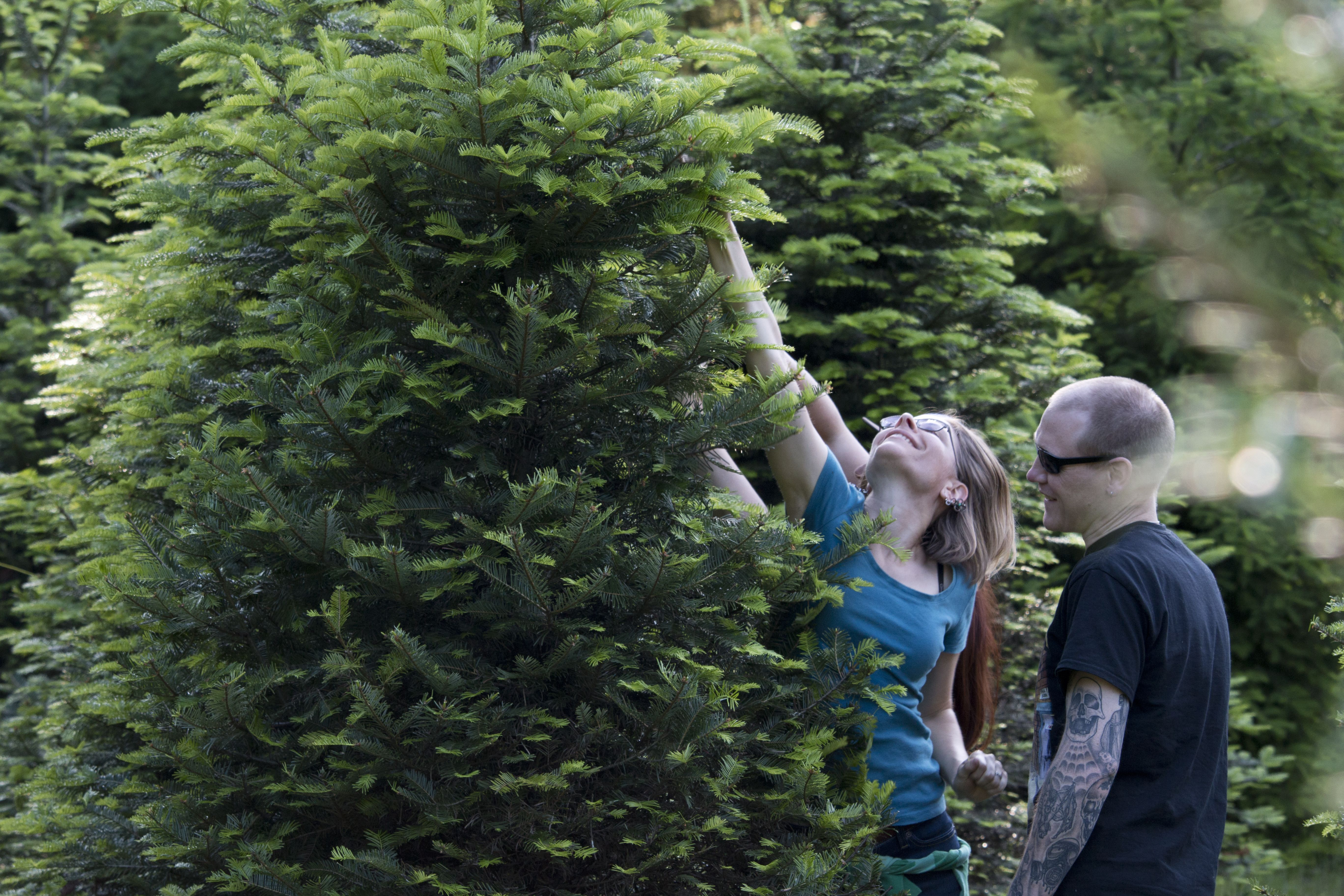 Fir Picking at Earth & Sky Farm that are then used in Magnanimous IPA. (image courtesy of Fort George Brewery)
