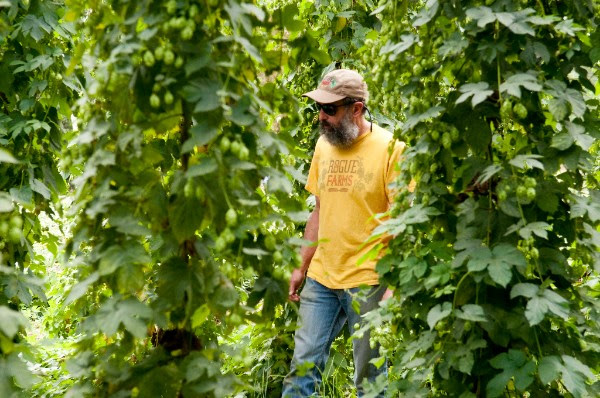 John Maier takes a final stroll through the hopyard before the harvest. (photo courtesy of Rogue Ales)