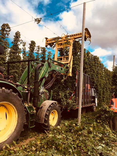 Previously clipped at the bottom, the hop bines are gathered in and cut free by the top cutter, which slowly pushes the truck in front of it as workers grab the bines and load them onto the bed of the truck. The harvest proceeds 24/7 for much of the month at Crosby Farm, which covers 700 mid-valley acres. (FoystonFoto)