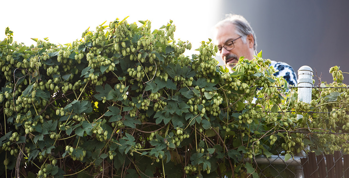 Larry Sidor, co-founder of Crux Fermentation Project picking hops. (image courtesy of Crux Fermentation Project)