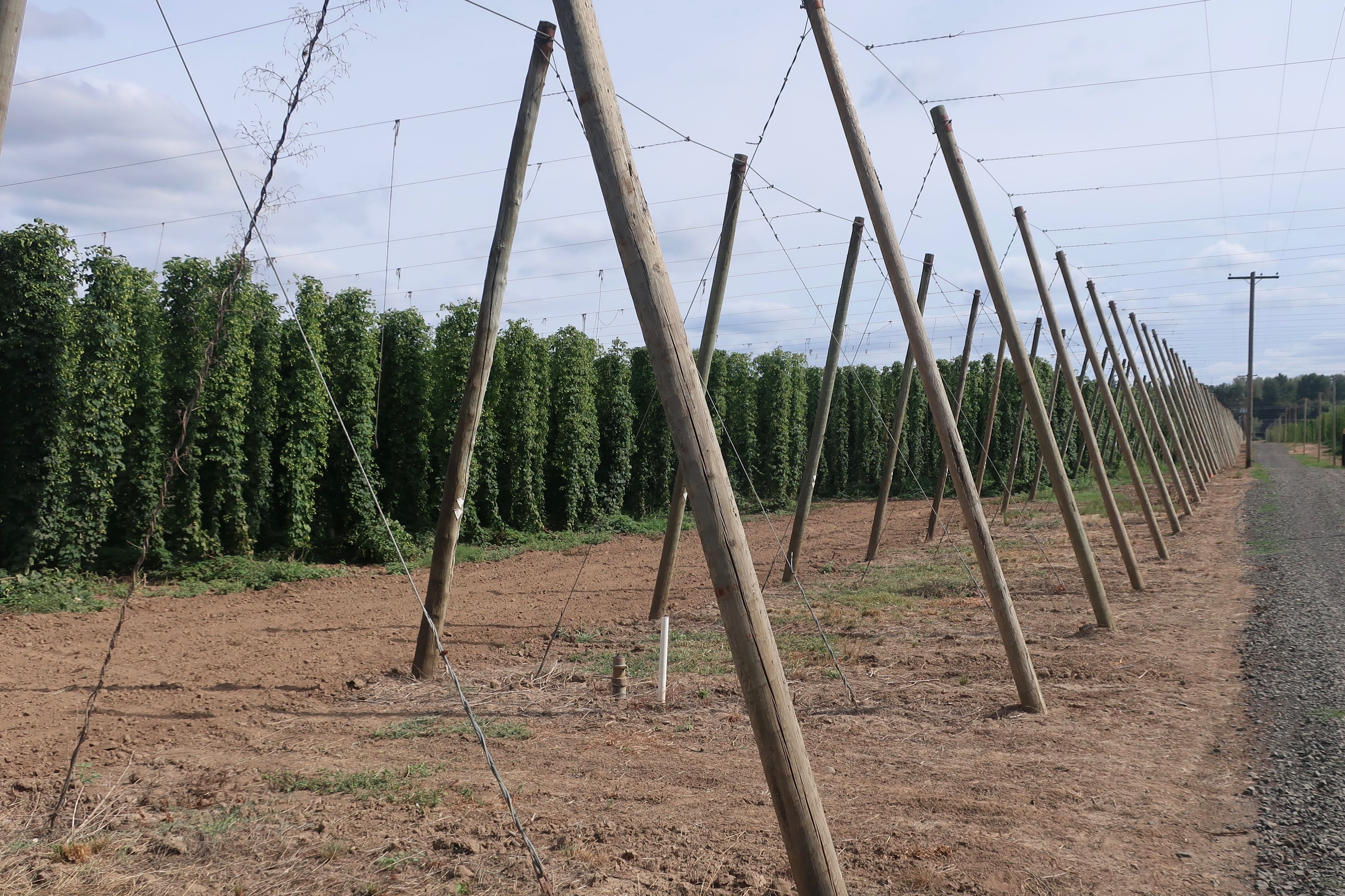 Fields of Strata hops growing at Coleman Agriculture outside of Independence, Oregon.