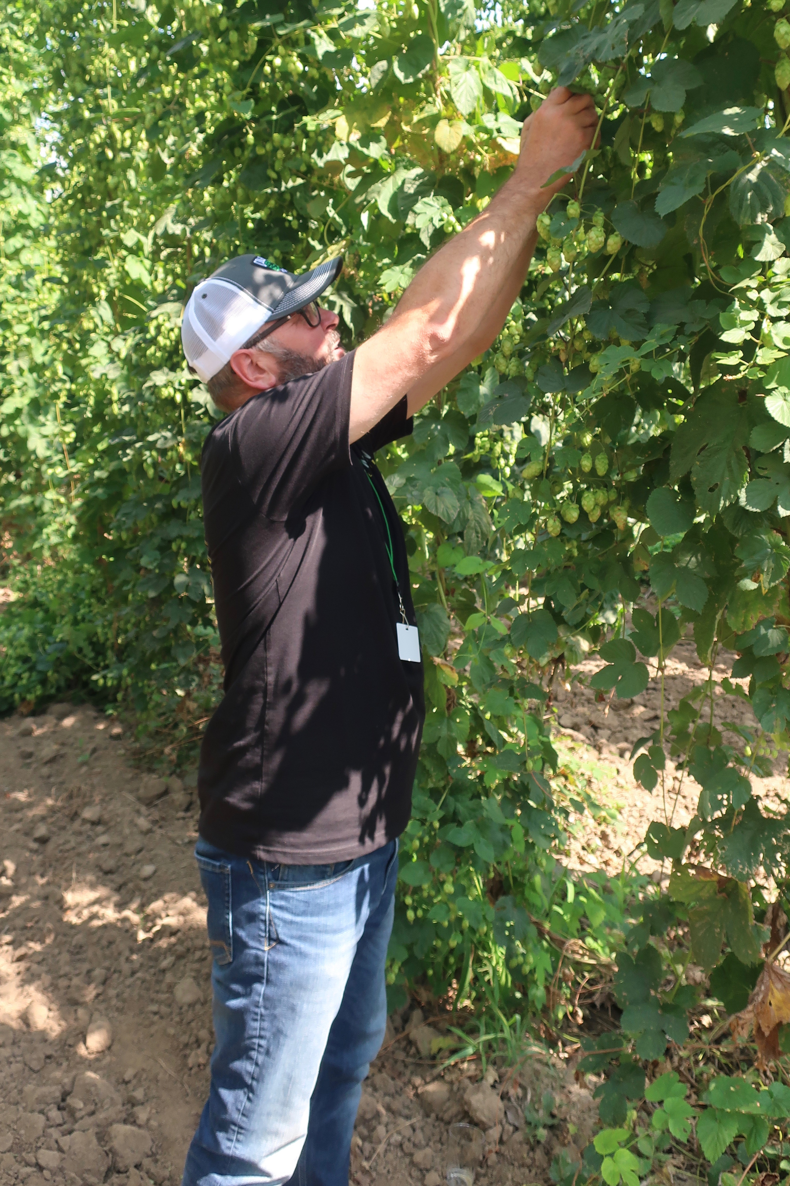 John Coleman picking Strata hops at Coleman Agriculture outside of Independence, Oregon.