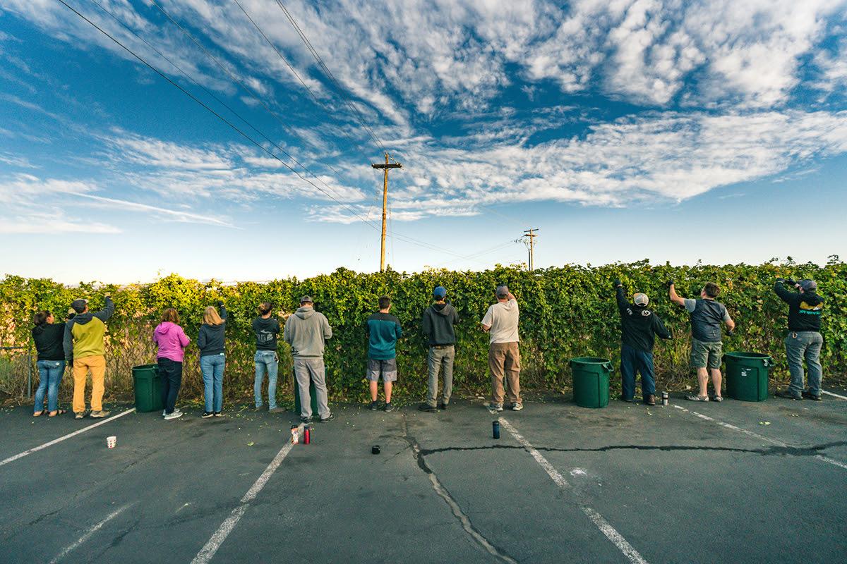 image of fresh hop picking courtesy of Crux Fermentation Project