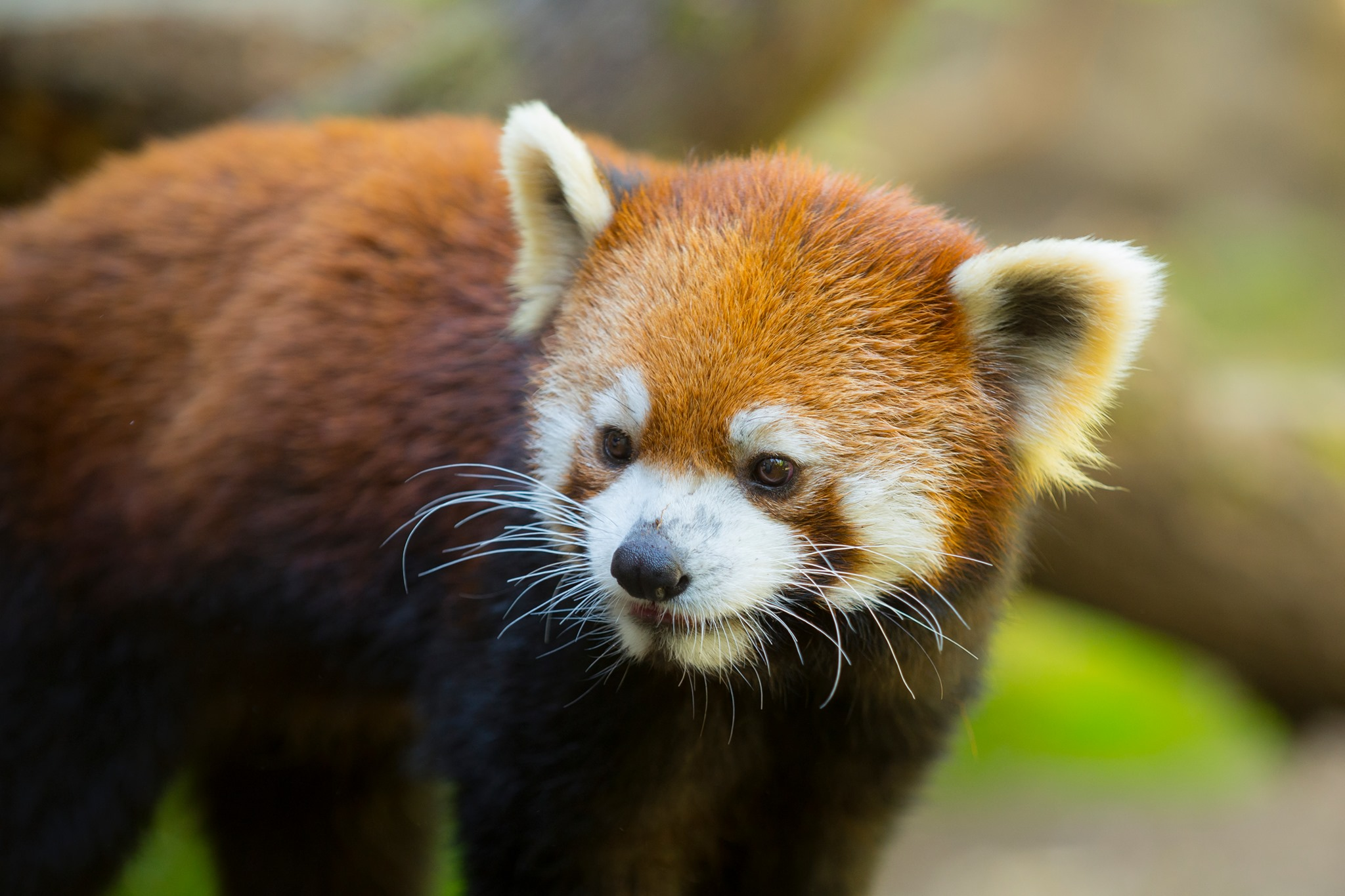 image of a red panda courtesy of the Oregon Zoo