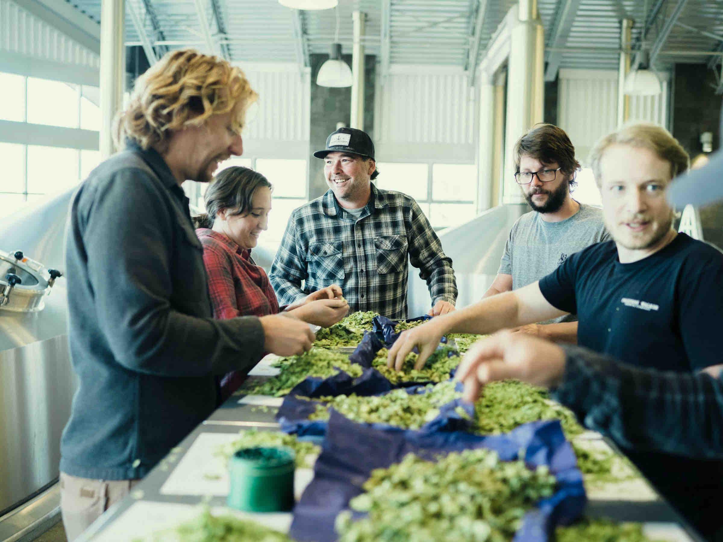 image of rubbing New Zealand grown hops courtesy of Firestone Walker Brewing