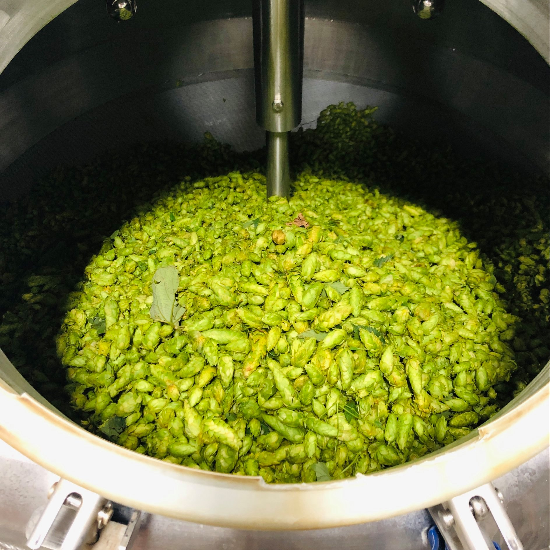 McKenzie Hops used by Crux Fermentation Project in its Pert Near Fresh Hop IPA. (image courtesy of Crux Fermentation Project)